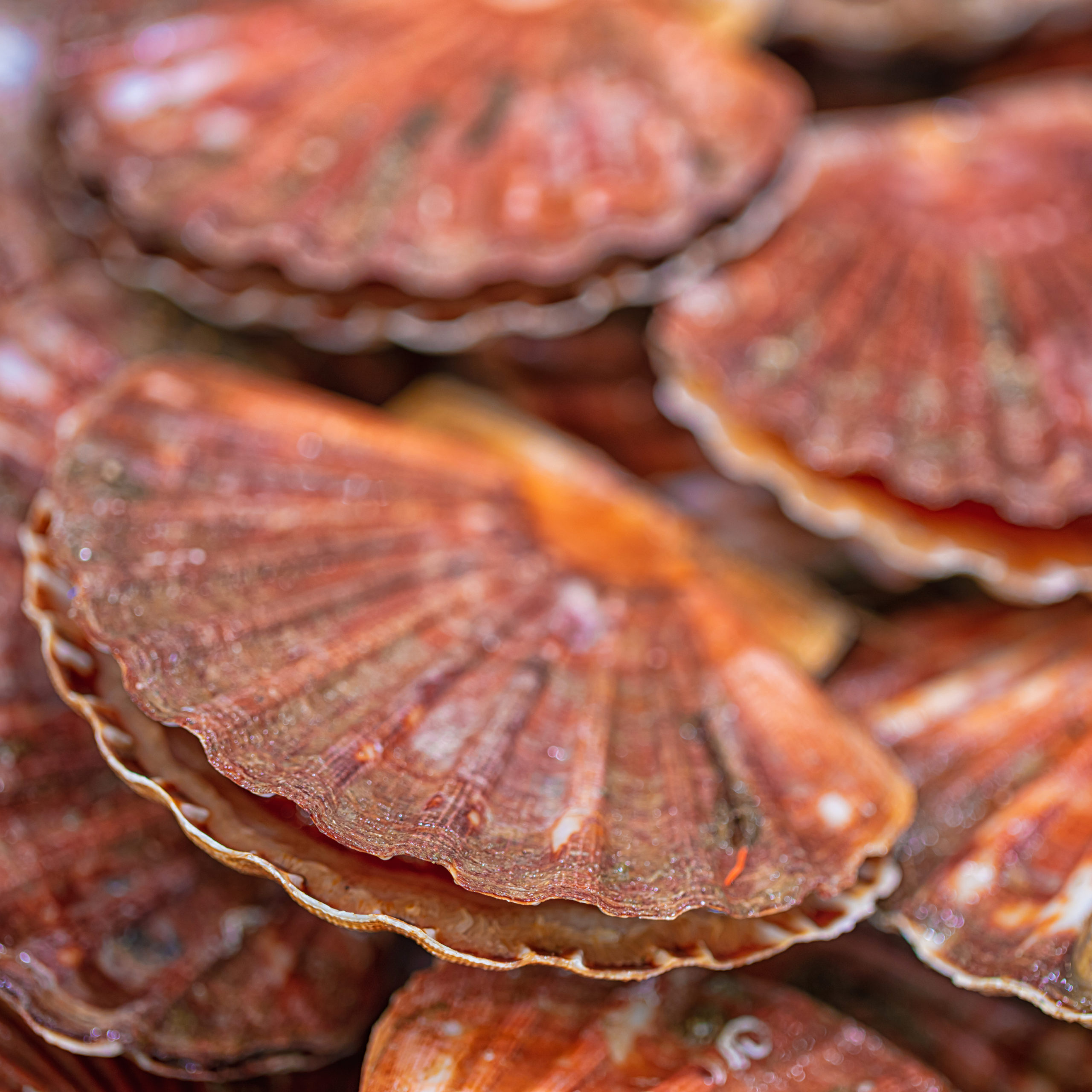 Coquilles Saint Jacques  (blanches)